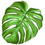 Ejemplo del vector de la planta tropical de la hoja de Monstera stock de ilustración