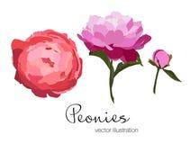 Ejemplo del vector de las flores coloridas de las peonías Fotografía de archivo