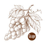 Ejemplo del vector de las ramas de la vid de uva estilo hecho a mano del grabado Color de Brown Imagenes de archivo