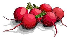 Ejemplo del vector de los rábanos de la verdura del dibujo Fotos de archivo libres de regalías
