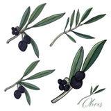 Ejemplo del vector de Sketched_olives_plants ilustración del vector