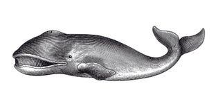 Ejemplo del vintage del grabado de la ballena de Groenlandia stock de ilustración