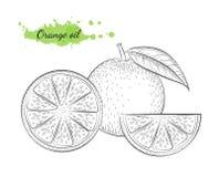 Ejemplo dibujado mano aislado del vector de la naranja Imagen de archivo