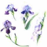 Ejemplo dibujado mano de la acuarela Fije los iris ilustración del vector