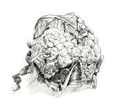 Ejemplo dibujado mano de la coliflor coliflor Dibujo vegetariano detallado de la comida Imagenes de archivo