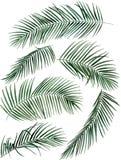Ejemplo dibujado mano de las hojas de palma de la acuarela libre illustration