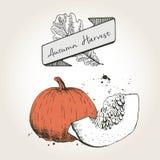 Ejemplo dibujado mano del vector de las rebanadas de la calabaza Verdura coloreada grabada del otoño aislada en fondo del vintage Fotografía de archivo