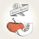 Ejemplo dibujado mano del vector de las rebanadas de la calabaza Verdura coloreada grabada del otoño aislada en fondo del vintage Foto de archivo libre de regalías