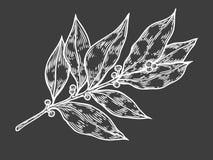 Ejemplo dibujado mano fresca del vector de la planta de la hierba de la hoja de laurel en el fondo blanco Imagen de archivo