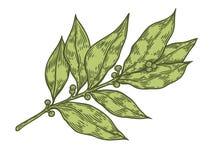 Ejemplo dibujado mano fresca del vector de la planta de la hierba de la hoja de laurel en el fondo blanco Fotos de archivo