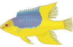 Ejemplo español del Hogfish stock de ilustración