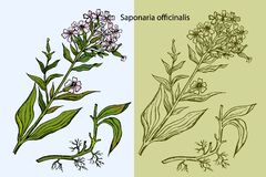 Ejemplo grabado del Soapwort común, ilustración del vector
