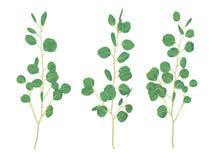 Ejemplo hermoso de ramas y de hojas del silv del eucalipto ilustración del vector