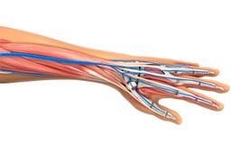 Ejemplo humano de la anatomía de la mano Foto de archivo libre de regalías