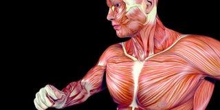 Ejemplo humano de la anatomía del cuerpo masculino del brazo humano con los músculos visibles ilustración del vector