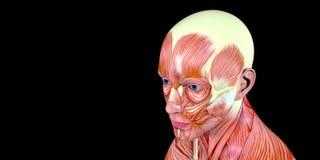 Ejemplo humano de la anatomía del cuerpo masculino de una cabeza humana con los músculos visibles stock de ilustración
