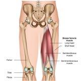 Ejemplo médico de la anatomía 3d del músculo del tendón de la corva en el fondo blanco stock de ilustración