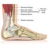 Ejemplo médico de la junta de tobillo de los surae del tríceps 3d stock de ilustración