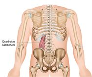 Ejemplo médico del vector del músculo del lumborum de Quadratus en el fondo blanco ilustración del vector