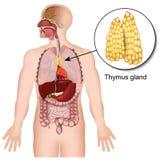 Ejemplo médico endocrino del sistema 3d de la glándula de timo en el fondo blanco ilustración del vector
