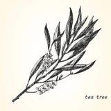 Ejemplo a mano del árbol del té Fotografía de archivo libre de regalías