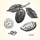 Ejemplo a mano del cacao Foto de archivo libre de regalías