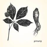 Ejemplo a mano del ginseng Foto de archivo