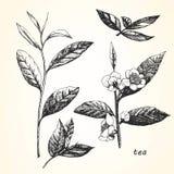 Ejemplo a mano del té Imagenes de archivo