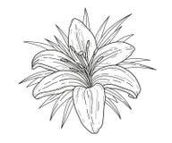 Ejemplo monocromático del vector de la flor del lirio Tigre hermoso lilly aislado en el fondo blanco Elemento para el diseño Fotografía de archivo libre de regalías