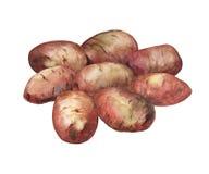 Ejemplo pintado a mano de la acuarela de patatas Imagen de archivo libre de regalías