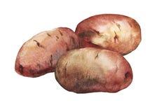 Ejemplo pintado a mano de la acuarela de patatas Imágenes de archivo libres de regalías
