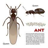 Ejemplo real del insecto de la hormiga Fotografía de archivo