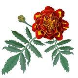 Ejemplo realista de la flor roja de la maravilla (Tagetes) aislada en el fondo blanco Foto de archivo