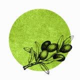 Ejemplo realista de la rama de aceitunas negras y verdes aislada en fondo verde Diseño para el aceite de oliva, cosméticos natura fotos de archivo libres de regalías