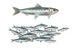 Ejemplo realista de la sardina europea Ilustración del Vector