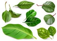 Ejemplo realista de las hojas de la fruta con descensos del agua en el fondo blanco libre illustration