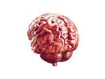 Ejemplo realista del cerebro Foto de archivo libre de regalías