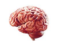 Ejemplo realista del cerebro Fotografía de archivo libre de regalías