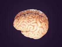 Ejemplo realista del cerebro Fotos de archivo