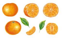 Ejemplo realista del reticulata de la fruta cítrica de la mandarina con las frutas y las hojas Stock de ilustración