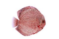 Ejemplo rojo de la piel de serpiente de los pescados del disco Imagen de archivo