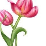 Ejemplo rosado realista hermoso de la flor de los tulipanes Fotografía de archivo libre de regalías