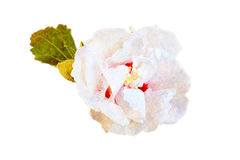 Ejemplo tropical blanco de la flor del hibisco Fotografía de archivo