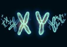 Ejemplo XY del cromosoma Imágenes de archivo libres de regalías