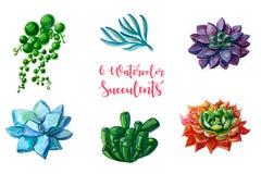 Ejemplos de la acuarela - clipart de los succulents Se aíslan todos los elementos Foto de archivo