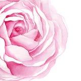 Ejemplos de la acuarela de la flor color de rosa aislados en el fondo blanco Imagen de archivo