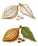Ejemplos del cacao Imagen de archivo libre de regalías
