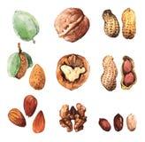 Ejemplos del clip art del Watercolour de nueces culinarias Fotografía de archivo libre de regalías