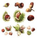 Ejemplos del clip art del Watercolour de nueces verdaderas Fotos de archivo libres de regalías