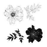 Ejemplos dibujados mano grabados de peonías adornadas libre illustration